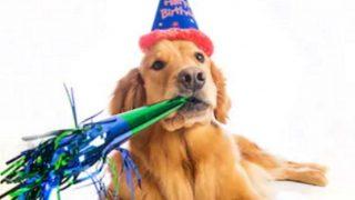 golden-retriever dog costumes