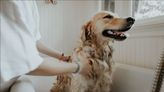 Grooming tools for Golden Retrievers